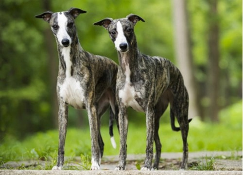 whippets standing and staring