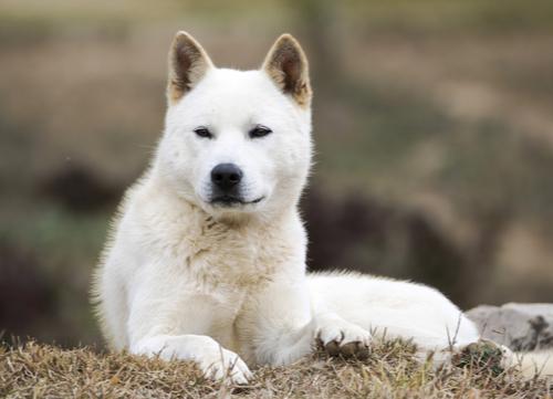 jindo dog korean dog breeds