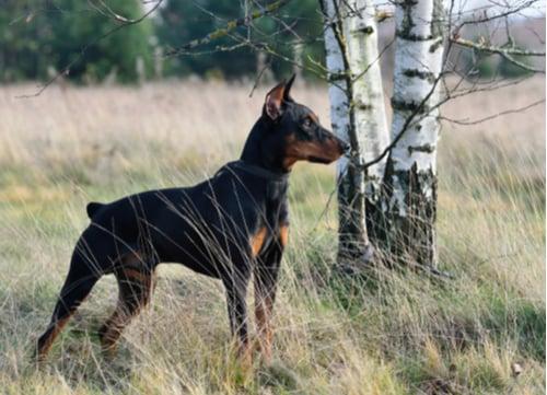german pinscher healthiest small and medium dog breeds