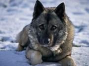 Norwegian Dog Breeds