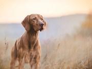 Hunting hound dogs