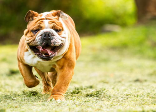 Mellow dog breeds English Bulldog