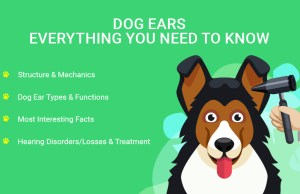 Dog Ears- Everything You Need to Know