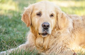 Sarcopenia in Dogs