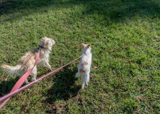 Dual dog leash