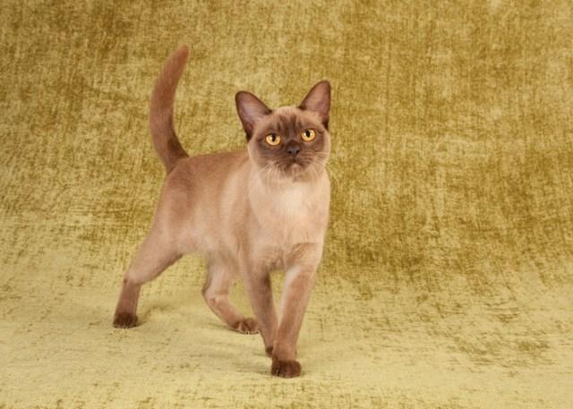 Burmese Cat Breed Physical Traits