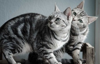 american shorhaired cat breed