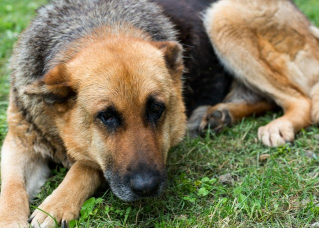 Dogs with Joint Health Problem