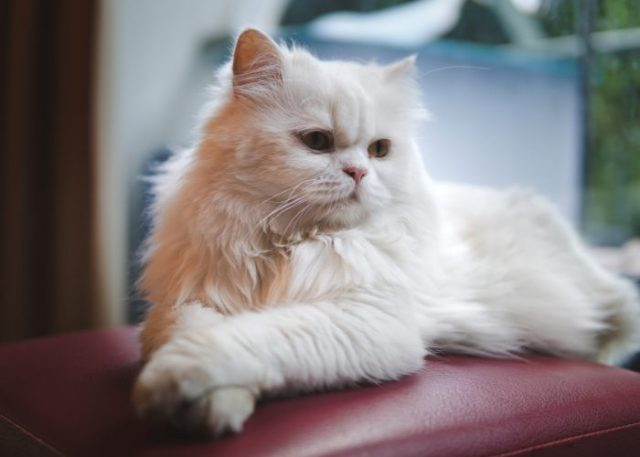 The Persian Breed of Cats: A Whiskerrific Overview