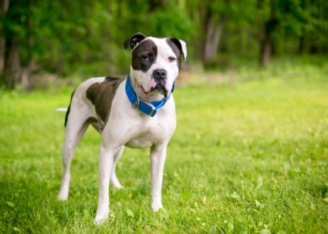 Flat-faced American Bulldog