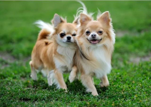 Cute Flat-faced Chihuahua Breed