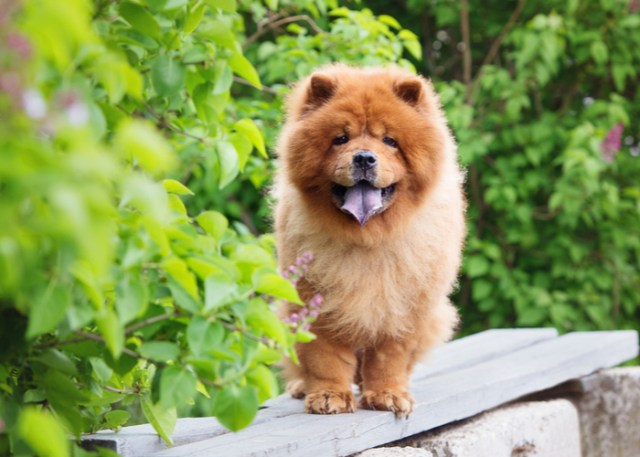 Flat-faced dog breed Chow Chow