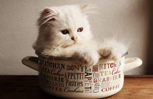 The Ragdoll Cat Breed: An Overview