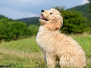 Goldendoodles: 10 Crazy Facts About The Ultimate Doodle Mix