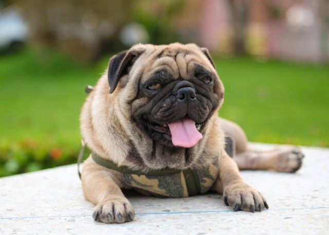 Flat-faced dog breeds health problems