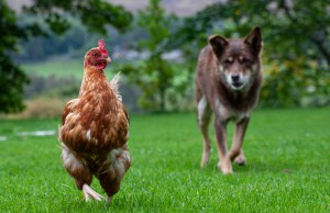 Introducing dogs to your chicken