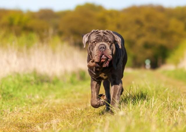 Flat-faced Dog Breed Neopolitan Mastiff