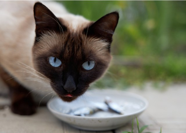 Best Feline Diet