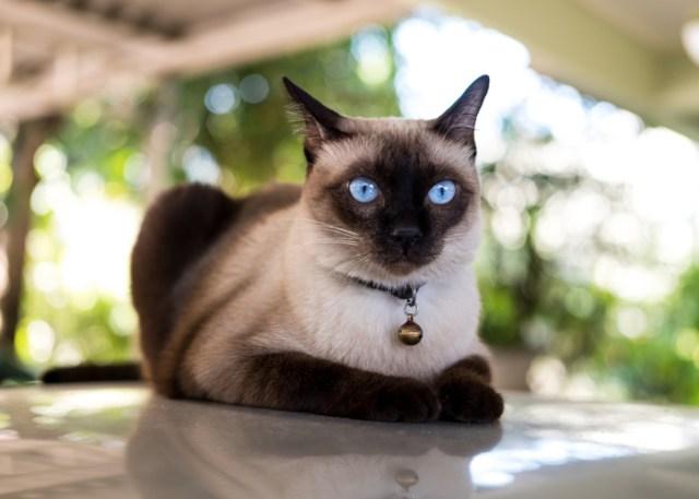 How Siamese Cat Breed Look Like