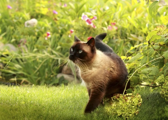 Siamese Cat Walking