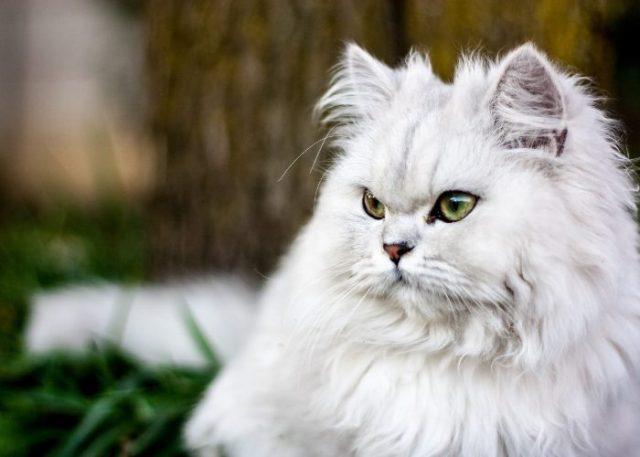 Persian Cat's Personality