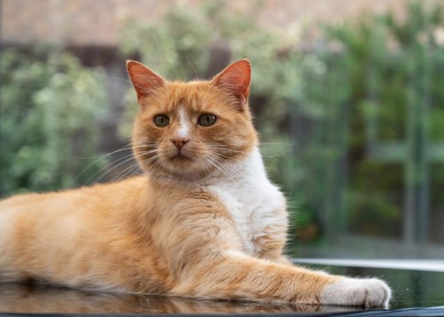 80% of Orange Tabby Cats are Male
