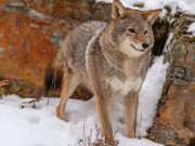 Coyote Attacks on Dogs: Things You Must Know For Their Protection