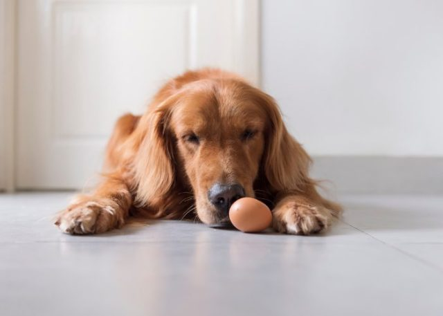 Posibles efectos secundarios de los huevos para perros