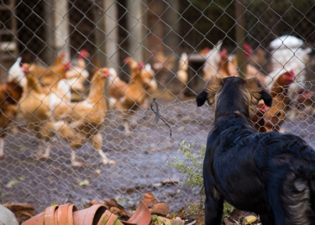 How to introduce dogs to your chickens - Step 1