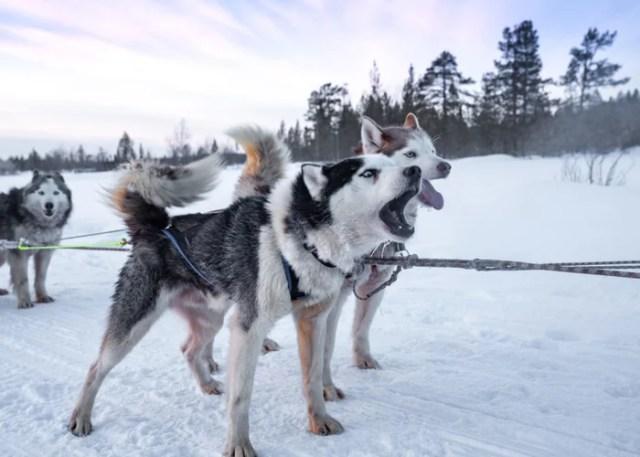 Purebred Siberian Husky barking