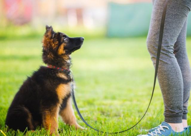 Preparing for a dog show