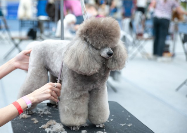 Grooming a show dog
