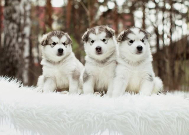 3 Alaskan Malamute Puppies - Purebred dog breed