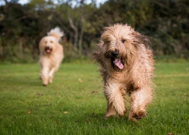 Mixed Breeds vs Purebred Dog Breeds Health