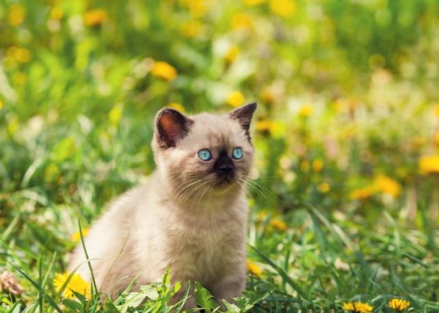 Cute Oriental Kitten