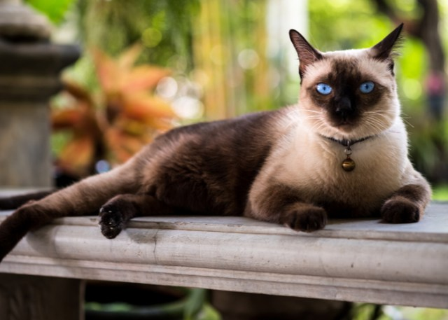 Pros and Cons of Siamese Cat