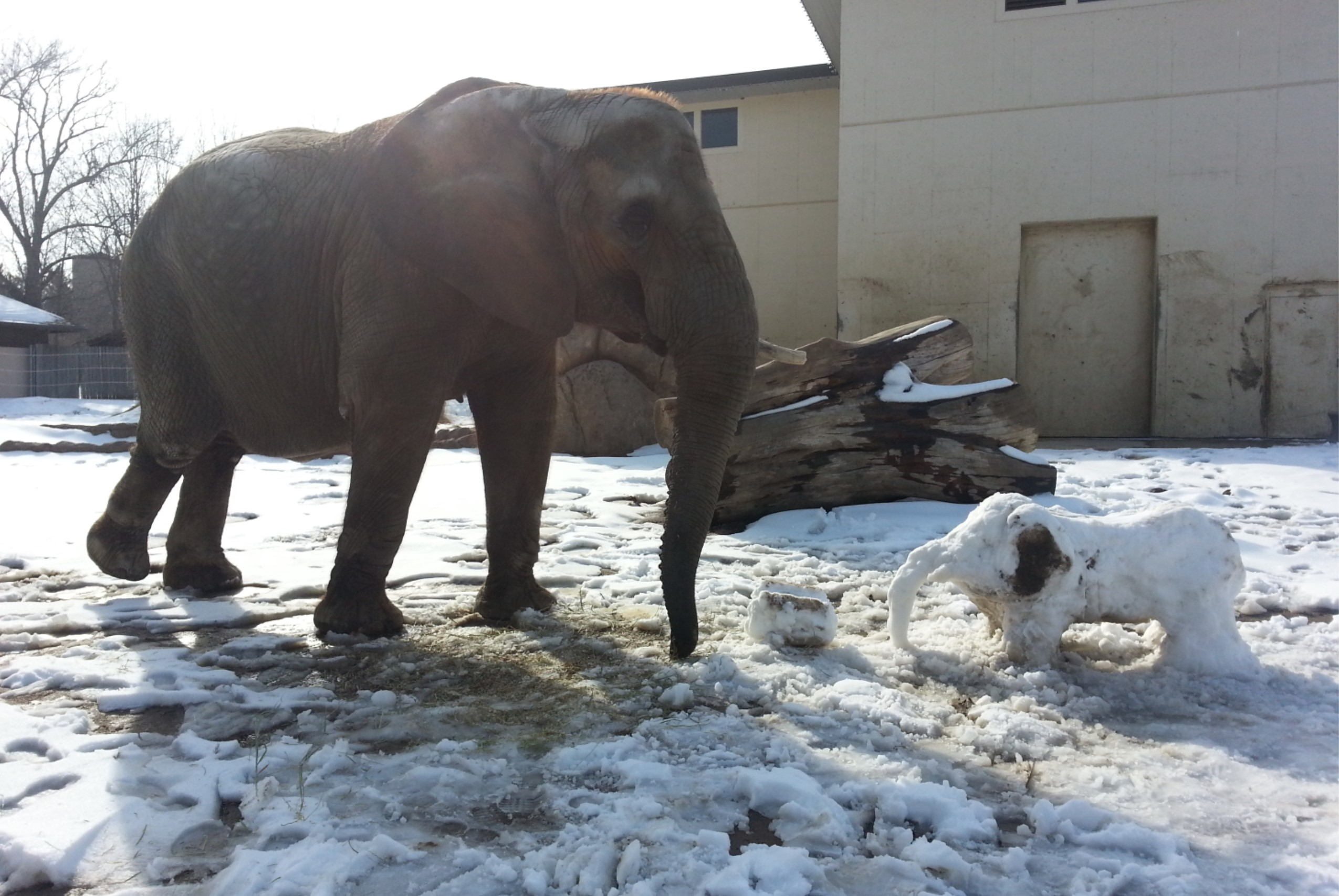 Tembo the African Elephant enjoying enrichment prepared by her zookeepers.
