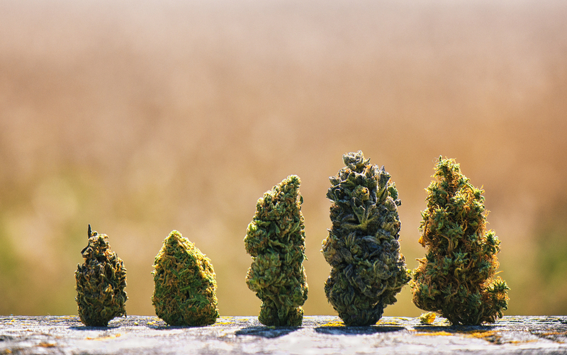 weed buds quality