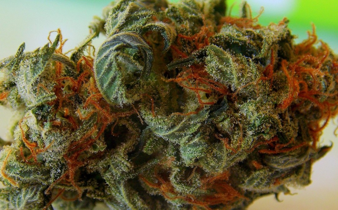 strongest weed strains