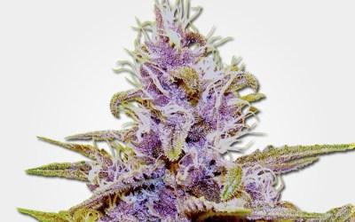 Best Autoflowering Seeds | Top 9 Autoflower Strains Reviews