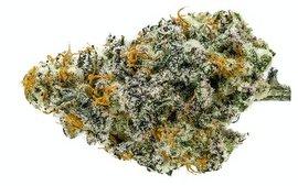 mac 1 hybrid strain