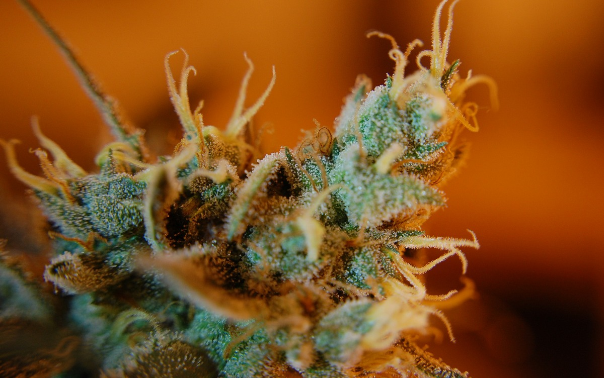 What are Trichomes on Weed and its Importance + Trichomes chart