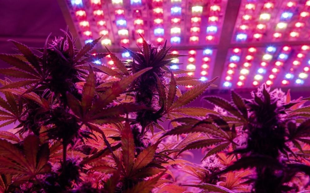 indoor growing blue dream