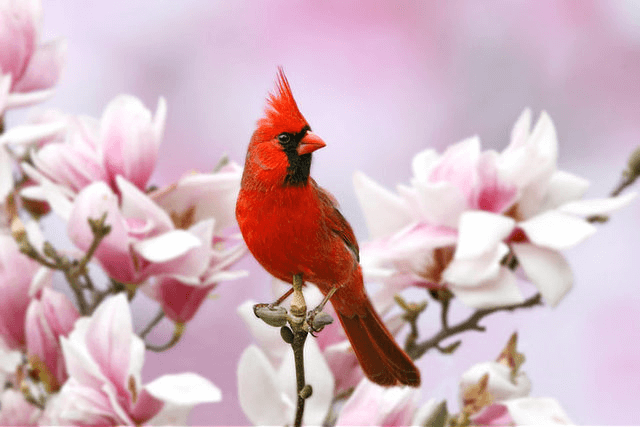 ATTRACT CARDINALS