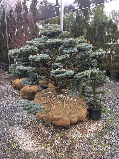 topiary-Picea-Montgomery-Pompom