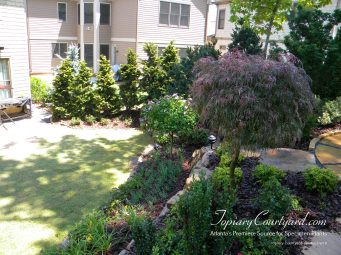 Hinokees as a border with a beautfiul standard Japanese Maple