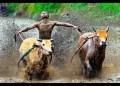 Pacu Jawi di Tanahdatar, Selalu Diburu Para Fotografer Dunia