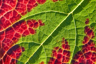 Pinor Noir grape leaf turning