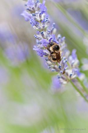 Unbuzzy bee