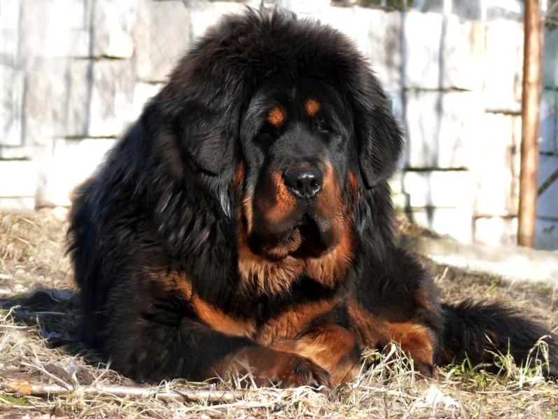 самая дорогая порода собак в мире Тибетский мастиф фото